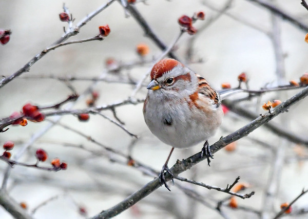 """<div class=""""jaDesc""""> <h4>Tree Sparrow in Winterberry Bush - January 7, 2018</h4> <p>A pair of Tree Sparrows showed up today.  They look like a cross between a Chipping Sparrow (wood chips on crown) and a Song Sparrow (note on breast).</p> </div>"""