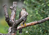 """<div class=""""jaDesc""""> <h4>Juvenile Sharp-shinned Hawk Worn Out - September 18, 2016</h4> <p>He finally gave up shortly after I took this photo.  He had been chasing the Blue Jays with high speed runs, but they can maneuver better than he can.  Hope he finds an easier target to get something to eat. </p> </div>"""