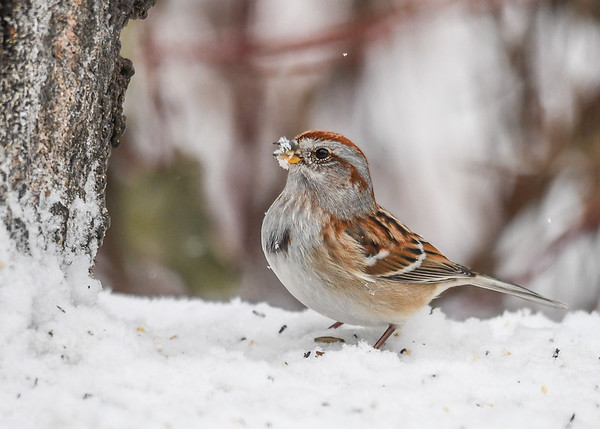 """<div class=""""jaDesc""""> <h4>Tree Sparrow with Seed and Beak Full of Snow - January 16, 2018</h4> <p>As the Tree Sparrows peck in the snow for white millet seed, the snow typically sticks to their beak.</p> </div>"""