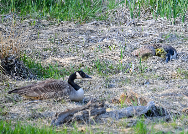"""<div class=""""jaDesc""""> <h4>Canada Goose Family - May 8, 2018</h4> <p>This Canada Goose family was resting on an island in the creek that feeds Dryden Lake, NY.</p> </div>"""