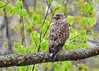 "<div class=""jaDesc""> <h4>Broad-winged Hawk Looking Left - May 6, 2017</h4> <p> He did not seem in any big hurry to move on, so I was able to get nice shots of him on his perch.</p> </div>"