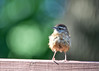 "<div class=""jaDesc""> <h4> Juvenile Carolina Wren - Front View - September 9, 2017 </h4> <p> </p> </div>"