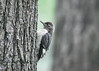 "<div class=""jaDesc""> <h4>Juvenile Red-headed Woodpecker #4 - September 10, 2018 </h4> <p></p> </div>"