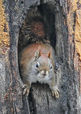 """<div class=""""jaDesc""""> <h4>Red Squirrel on Guard - January 7, 2019</h4> <p></p>  </div>"""