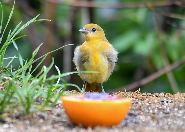 """<div class=""""jaDesc""""> <h4>Juvenile Baltimore Oriole Dining - June 28, 2018</h4> <p>We have two juvenile female Orioles ths year.  The parents have introduced them to the grape jelly in orange delicacy.</p> </div>"""