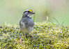 """<div class=""""jaDesc""""> <h4>White-throated Sparrow Front Pose - April 27, 2017 </h4> <p>She was checking out my telephoto lens.</p></div>"""