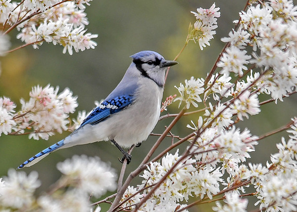 """<div class=""""jaDesc""""> <h4>Blue Jay in Blooming Serviceberry Tree - April 22, 2017</h4> <p>The Serviceberry is one of the first trees to bloom in spring.  This one is nicely adorned with one of our 30+ Blue Jays.</p> </div>"""