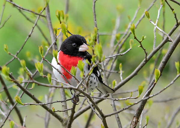"""<div class=""""jaDesc""""> <h4> Male Grosbeak in Winterberry Bush - May 2, 2017</h4> <p>I love it when a gorgeous bird gives me a perfect pose in a natural setting.</p> </div>"""