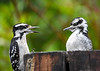 "<div class=""jaDesc""> <h4>Frustrated Baby Male Hairy Woodpecker - June 6, 2018</h4> <p>Turns out Mom has no intention of feeding him anymore.  Notice the suet on the left side of the log.  Mom is telling him he has to start getting his own.</p></div>"