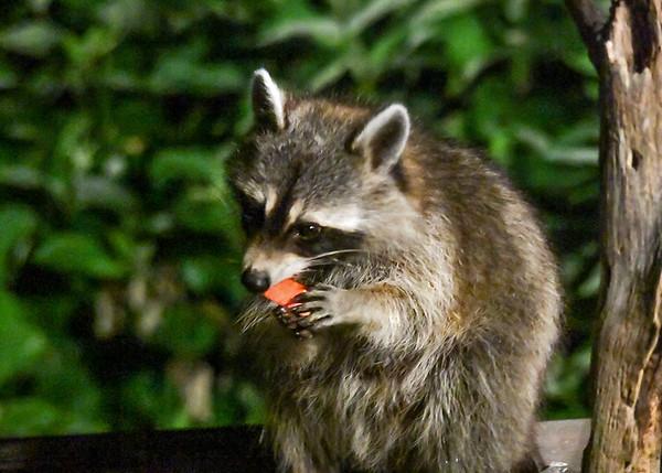"<div class=""jaDesc""> <h4>Raccoon Bites Apple Piece - July 12, 2017</h4> <p></p> </div>"