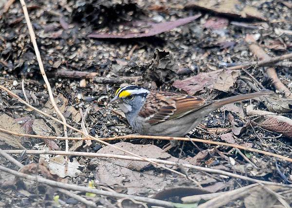 """<div class=""""jaDesc""""> <h4>White-throated Sparrow Ground Feeding - April 14, 2018</h4> <p>This is our first  White-throated Sparrow of the year.  I toss seed in among these leaves.  The Sparrows like to scratch and hunt for them.</p> </div>"""