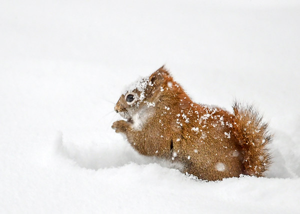 "<div class=""jaDesc""> <h4>Red Squirrel Digging for Seeds - February 12, 2019</h4> <p>One of our Red Squirrels was plowing his face into 6 inches of snow to find sunflower seeds during a heavy snow storm.</p>  </div>"