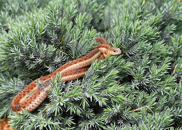 "<div class=""jaDesc""> <h4> Garter Snake Sunning - June 9, 2018 </h4> <p>As I was walking by a newly planted bird's nest evergreen bush, I noticed this beautiful Garter Snake draped on top.</p> </div>"