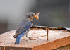 "<div class=""jaDesc""> <h4> Mom Bluebird with Mealworms - July 14, 2017</h4> <p>I think this is a record at our place - 7 mealworms at once.  She was trying for 8 but couldn't quite get it.  This is a portable box that I slowly move in toward my back porch.  I put some mealworms on top and the rest inside; otherwise the Blue Jays and Robins will come gobble all of them.</p> </div>"