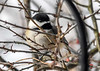 "<div class=""jaDesc""> <h4>Chickadee in Bush - December 28, 2017 </h4> <p>These little speedsters don't give me many opportunities for nice shots.  This one actually hesitated for half a second, before darting to the seed tray.</p> </div>"