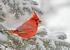 <h4>Male Cardinal with Seed - January 30, 2019</h4> <p>I toss sunflower seeds on the snowy spruce tree branches.  The Cardinals love to search for them. </p>