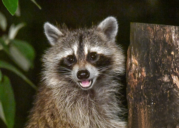 """<div class=""""jaDesc""""> <h4>Raccoon Smiling at Me - July 9, 2017</h4> <p>She was smiling at me while she had her left arm in the log hole up to her shoulder grabbing for peanuts and birdseed.</p> </div>"""