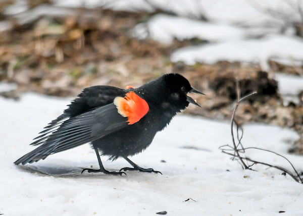 """<div class=""""jaDesc""""> <h4>Male Red-winged Blackbird Screeching - March 24, 2019</h4> <p>This male is warning off the other males in his area. </p></div>"""
