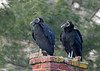 "<div class=""jaDesc""> <h4> Black Vultures Roosting on Chimney - March 10, 2018</h4> <p> Two Black Vultures were relaxing on the chimney of an old stone building adjacent to Lima Estates in Lima, PA.  The bird on the left looks like an older adult with slightly faded feathers.  The one on the right appears to be younger and has darker, brighter feathers.</p> </div>"
