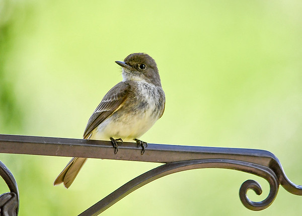"""<div class=""""jaDesc""""> <h4>Male Phoebe After Delivering Bug - June 1, 2017</h4> <p>Both parents do the feeding.  The male had just delivered a small beetle to the nest.</p> </div>"""