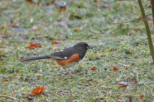"""<div class=""""jaDesc""""> <h4>Male Towhee with Seed  - May 13, 2016</h4> <p>I have a protected area in my backyard where I spread grass clippings and toss seed on top.  The Towhee likes to ground feed there.</p> </div>"""