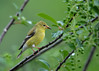 """<div class=""""jaDesc""""> <h4>Female Goldfinch with Sunflower Seed - June 8, 2016</h4> <p>Their favorite Cherry Tree now has green cherries; should be ripe in a few weeks.</p></div>"""