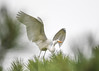 """<div class=""""jaDesc""""> <h4>Great Egret Wings Up for Launch - October 23, 2017</h4> <p></p></div>"""