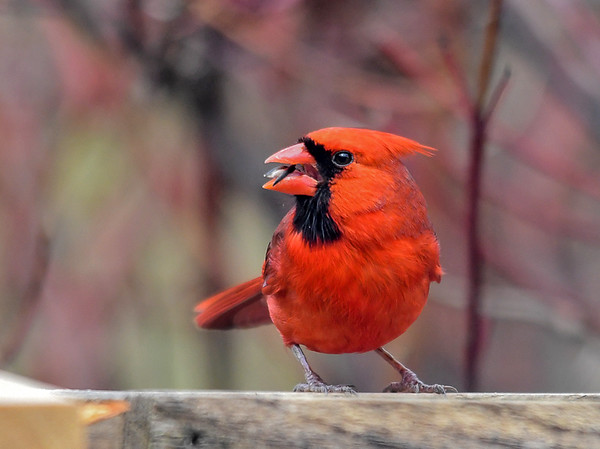 """<div class=""""jaDesc""""> <h4>Male Cardinal Cracking Seed - April 8, 2018</h4> <p>It is amazing how adeptly he rolls the seed around on his tongue as he chips the shell away.</p> </div>"""