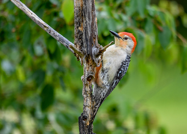 "<div class=""jaDesc""> <h4>Male Red-bellied Woodpecker on Pine Trunk - June 6, 2017</h4> <p>There is not much left of this small pine tree.  The woodpeckers have pecked it down to where is about to break in two pieces.  </p> </div>"