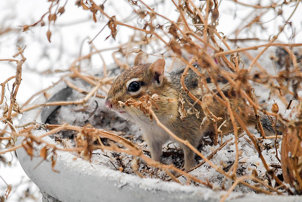 """<div class=""""jaDesc""""> <h4>Chipmunk - Out for a Peek Around - February 4, 2018 </h4> <p>One of our Chipmunks braved the weather today; collecting sunflower seeds I tossed into the porch flower pots.</p> </div>"""
