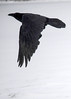 "<div class=""jaDesc""> <h4> Raven Take-off - January 5, 2018</h4> <p> This Raven was eating something in our front yard when I first saw him.  My presence spooked him so I only got his take-off.  Notice the distinctive wedge shaped tail and thick beak that differentiate Ravens from Crows.</p> </div>"