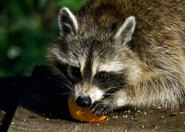 """<div class=""""jaDesc""""> <h4>Raccoon Scraping Orange with Her Teeth - July 9, 2017</h4> <p>After getting her claws all wet with orange juice, she is finishing getting all the orange flesh with her teeth.</p> </div>"""