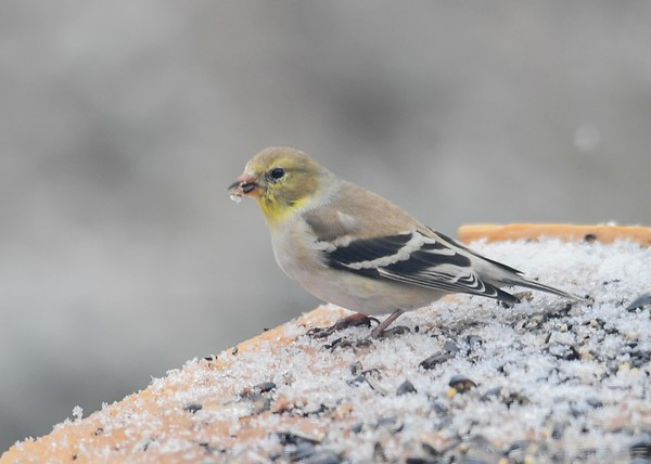 """<div class=""""jaDesc""""> <h4>Female Goldfinch - April 5, 2019</h4> <p>We have about 12 Goldfinches hanging around. </p></div>"""