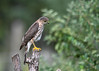 """<div class=""""jaDesc""""> <h4>Juvenile Sharp-shinned Hawk On Perch - September 18, 2016</h4> <p>This juvenile Sharp-shinned Hawk is taking a break from trying to catch Blue Jays.  Six Jays were repeatedly tormenting the poor guy. </p> </div>"""