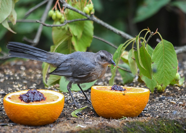 "<div class=""jaDesc""> <h4>Juvenile Catbird Tasting the Jelly - August 19, 2018</h4> <p>He was tentative at first.</p> </div>"