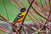 "<div class=""jaDesc""> <h4>Male Baltimore Oriole in Red-twig Dogwood - May 4, 2018</h4> <p>Love it when these guys show up.  Last year we had five for a few days.  Hoping for a repeat of that this year.</p> </div>"