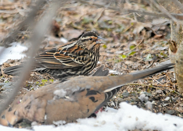 """<div class=""""jaDesc""""> <h4>First Female Red-winged Blackbird of the Year - March 24, 2019</h4> <p>A few female Red-winged Blackbirds showed up a week after over 50 males arrived.  So now the males are showing off to attract a female. </p></div>"""
