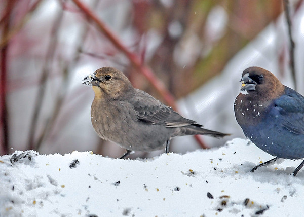 """<div class=""""jaDesc""""> <h4>Cowbird Pair in Snow Storm - March 3, 2018</h4> <p>These are our first Cowbirds of the year.  They seem to show up every year in late winter during a snow storm.</p> </div>"""
