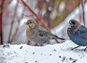 "<div class=""jaDesc""> <h4>Cowbird Pair in Snow Storm - March 3, 2018</h4> <p>These are our first Cowbirds of the year.  They seem to show up every year in late winter during a snow storm.</p> </div>"