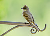 "<div class=""jaDesc""> <h4>Male Phoebe Guarding Nest - May 31, 2017</h4> <p>With the unusually cool spring weather, the Phoebes waited several weeks before the female laid eggs.  The male perches on this plant hanger while the female is incubating the eggs.</p> </div>"