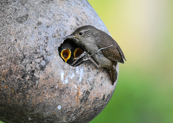 """<div class=""""jaDesc""""> <h4>Wren on Sticks at Nest Hole - June 23, 2018</h4> <p>When she built the nest, she place several sticks protruding out of the hole so she could perch on them to feed.</p> </div>"""