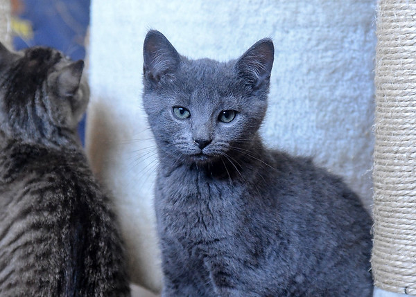 "<div class=""jaDesc""> <h4> Scarlett - September 9, 2017 </h4> <p>Scarlett is a Russian Blue kitten, lighter blueish gray than her brother Dagger.</p> </div>"