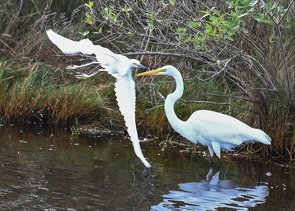 """<div class=""""jaDesc""""> <h4>Snowy Egret Flies by Great Egret - October 23, 2017</h4> <p>A Great Egret was all set up in her fishing spot when a Snowy Egret flew by very close to her.  Chincoteague  Wildlife Reserve, Virginia. </p> </div>"""