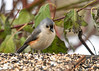 """<div class=""""jaDesc""""> <h4>Tufted Titmouse Checking Out Seeds - November 27, 2016 </h4> <p>This Tufted Titmouse seemed a bit overwhelmed by the choice of seeds on the breakfast platform.</p></div>"""