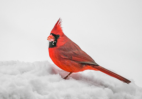 """<div class=""""jaDesc""""> <h4>Male Cardinal In Snow - November 16, 2018</h4> <p>This is my favorite time of year to photograph Cardinals. </p> </div>"""