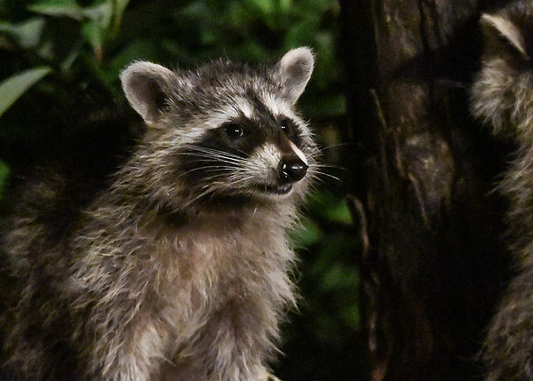 """<div class=""""jaDesc""""> <h4>Young Raccoon Arrives - August 29, 2017</h4> <p>The first Raccoon to arrive tonight was one of the youngsters.  As he climbed up onto the buffet table, he stopped to air scent like a dog would.  So cute!</p> </div>"""