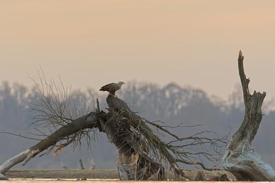 Zniszczone przez bobry i wodę drzewo. Idealne miejsce dla bielika.