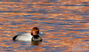 "This is a Redhead duck (actual name) from the diving group . . . not diving here (double-click on the image above to see larger, and you can also choose ""O"" for Original)."