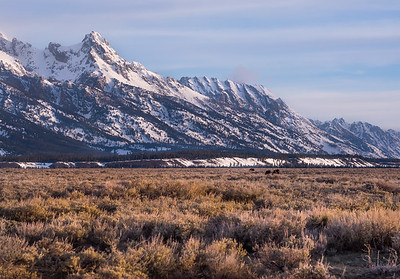 Moose graze in the Teton Valley just outside Jackson, WY during the April thaw
