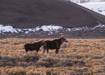 Mother and calf during morning's golden hour in Jackson, WY